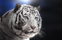 Portrait Of Bengal Tiger White Variation On Blue Background.