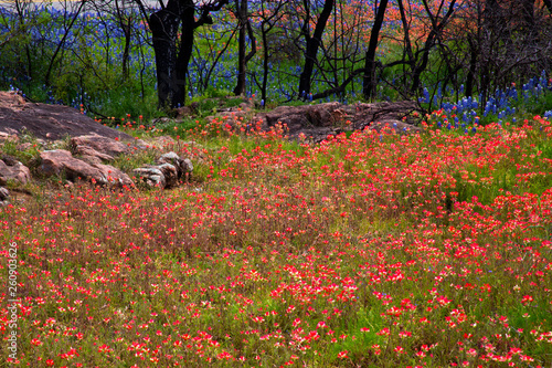 Paintbrush Flowers Cover a Hillside by Inks Lake State Park in Texas Wallpaper Mural