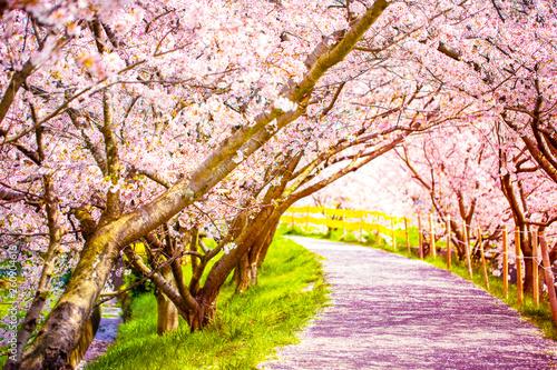 美しく満開に咲き誇る桜の木のトンネルと道