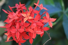 Beautiful Bright Pink Coral Bloom Of Tropical Flowering Ixora Coccinae.
