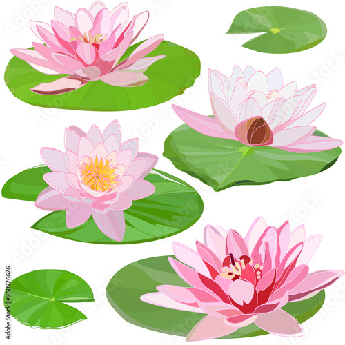 Fotografie, Obraz set of images of delicate white water lilies on green leaves isolated on white b