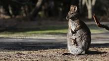 Female Wallaby Kangaroo With B...