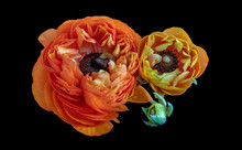 Fine Art Still Life Color Macro Of Two Buttercup Blossoms And A Bud In Surrealistic Vintage Painting Style On Black Background