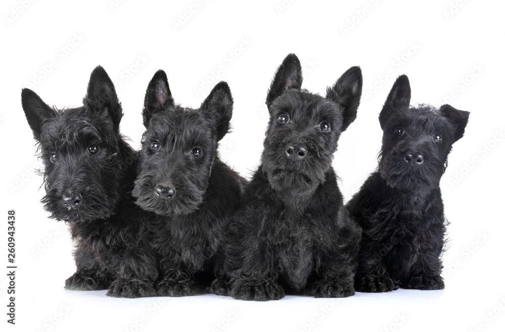 Fototapety, obrazy: puppies scottish terrier