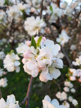 Apple Blossoms Clos-up, Light ...