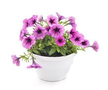 Colorful Petunia In The Pot.