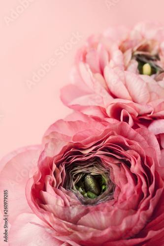 Fotografia Pink ranunculus (buttercup) on pink background