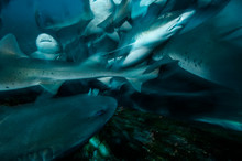 Group Of Banded Hound Sharks S...