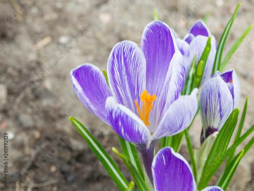 close up macro violet Crocus vernus spring flower on defocused green leaves bokeh background