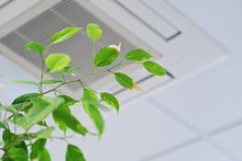 Ficus Green Leaves On The Background Ceiling Air Conditioner In Modern Office Or At Home. Indoor Air Quality Concept