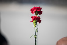 Bouquet Of Red Carnations In Man Hand At Victory Day Celebrations; Focus On Flower