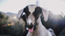 Funny Goat Showing Tongue