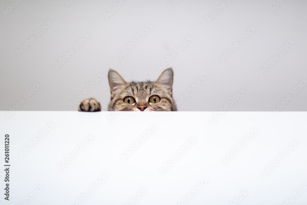 Fototapety, obrazy: cat hide and seek in white background