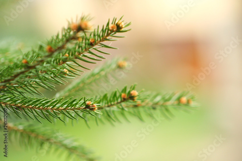 Fotografia  Branch of spruce on a green background. Spring time in the park.