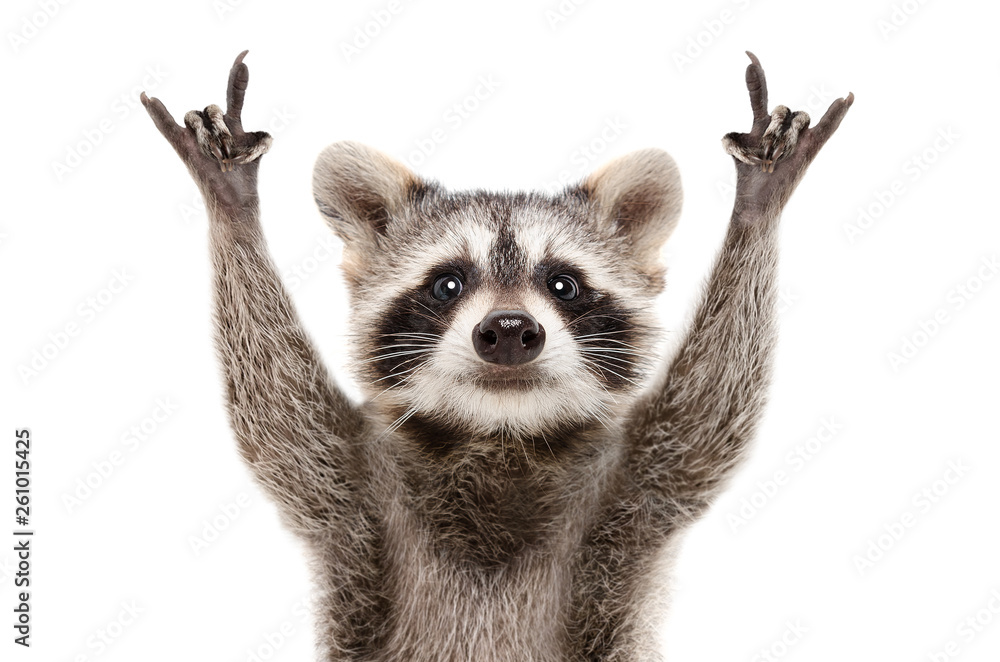 Fototapeta Portrait of a funny raccoon showing a rock gesture isolated on white background.JPG