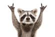 Leinwandbild Motiv Portrait of a funny raccoon showing a rock gesture isolated on white background.JPG