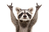 Fototapeta Zwierzęta - Portrait of a funny raccoon showing a rock gesture isolated on white background.JPG