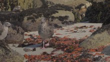 Close Up: Orange Crabs Covering Rocky Shore, Seagulls Eating In Monterey, California