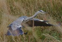 Herons In Long Grass