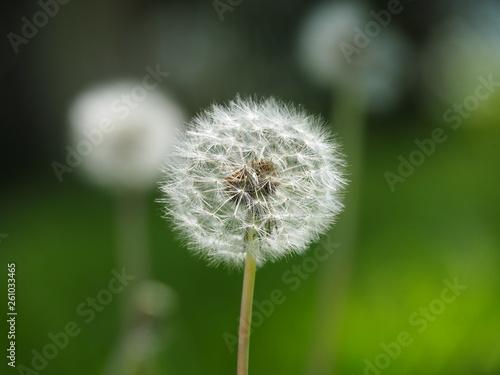 Photo  Fluffy Spring Dandelion