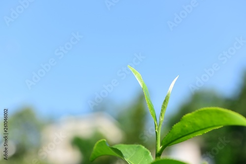 Garden Poster Plant Tea Picking in Chinese Tea Gardens