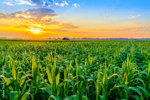 Stampa su Tela sunrise over the corn field