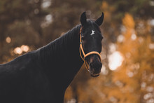 Portrait Of Beautiful Old Eventing Gelding Horse With White Spot In Forehead In The Evening In Autumn Landscape