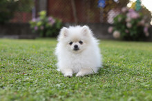 Cute White Pomeranian Dog In G...