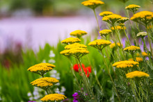 Gold Plate Yarrow In A Green M...