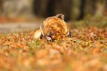 Fuchsroter Labrador Retriever Im Herbst