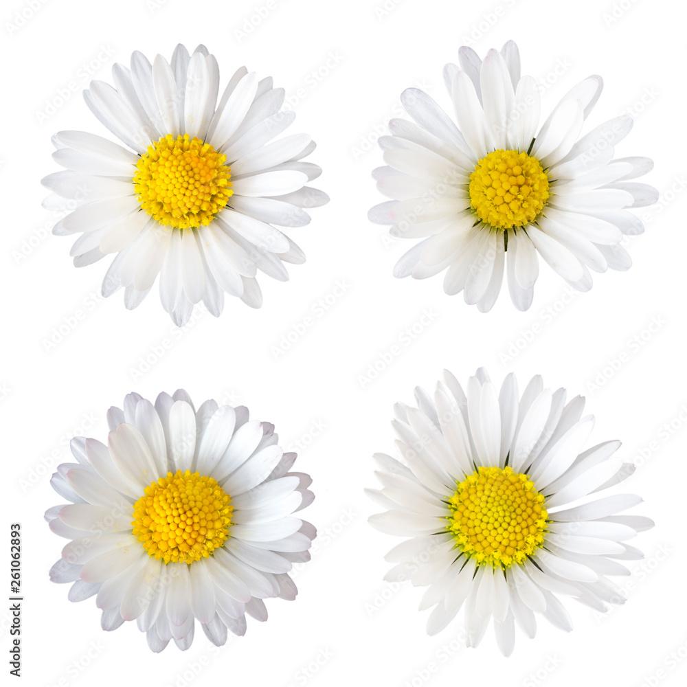 Fototapeta Vier Gänseblümchen (Bellis perennis), freigestellt auf weißem Hintergrund