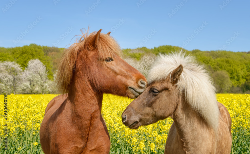 Fototapety, obrazy: Icelandic horses nibbling their heads in a yellow flowering field of rapeseed in spring, a chestnut and a silver dapple colored pony, Germany