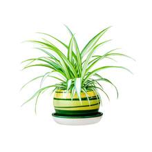 Chlorophytum Comosum (also Kno...