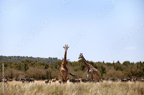 Fototapety, obrazy: Giraffes and wildebeests at Savanah, Masai Mara