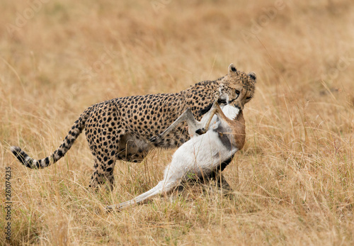 Fotografie, Obraz  Cheetah carrying the Thomson's gazelle kill, Masai Mara