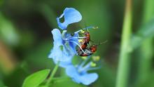 Mating Bug On กฟัดสนไำพใ