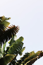 Large Banana Plant Fronds In The Warm Summer Sun