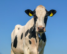 Black Mottled Cow Looks Straight Into The Camera, Spit Runs Out Of Her Mouth, Blue Background.