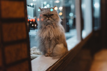 Cat In A Shop Window At Night