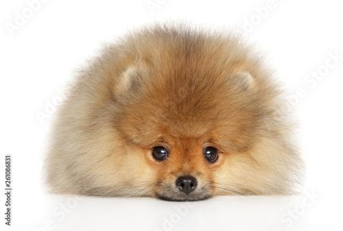 Valokuvatapetti Pomeranian Spitz puppy lying down