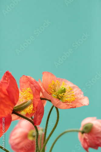 A Bouquet Of Vibrant Pink and Red Iceland Poppies Against A Bright Turquoise Background - 261087280