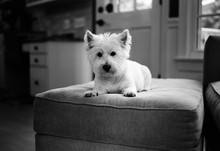 Adorable Small White Dog Lying On An Ottoman