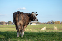 Beautiful Brown With White Cow And Horns Seen From Behind, Head Turned Backwards Looking At The Camera, In A Green Meadow.