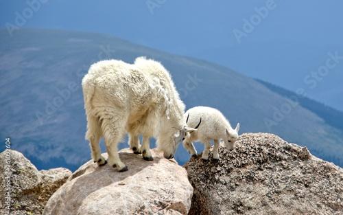 Foto Mountain goats at Mt Evans Colorado