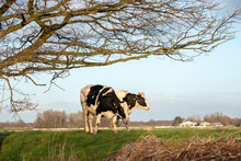 Two Young Black And White Cows Stand Side By Side On A Dike In Holland, Under Tree Branches.