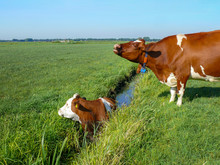 Cow In Ditch, Trapped, Wailing...
