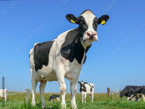 Aluminium Prints Cow Portrait of a black pied cow, dark dots on her pink large nose, slimy saliva wisps, and a blue sky.