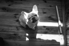 Little French Bulldog Sitting And Waiting For Dinner