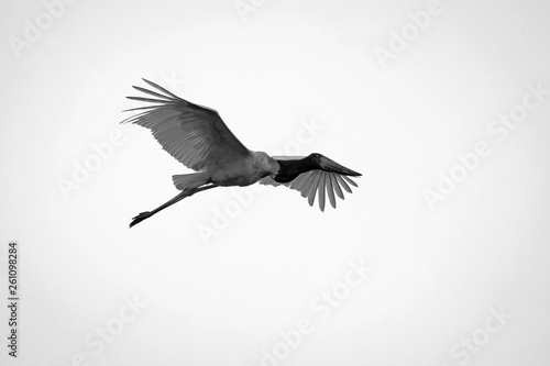 Fotografija  Flying Tuiuiu in Black and White in Pantanal, Brazil