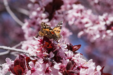 Painted Lady Butterfly On Pink Blossom